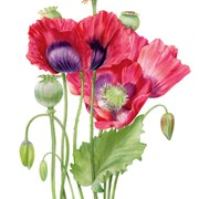 Blank Card Poppies (BS77413)